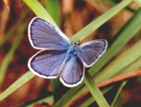 A Karner blue butterfly with its wings spread, standign on a blade of grass.